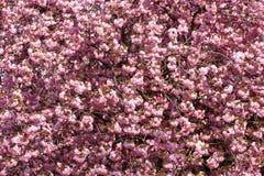Schöne blühende japanische Kirsche - Kirschblüte Stockbilder
