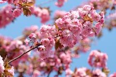Schöne blühende japanische Kirsche - Kirschblüte Lizenzfreies Stockfoto