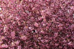 Schöne blühende japanische Kirsche - Kirschblüte Lizenzfreies Stockbild