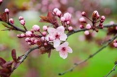 Schöne blühende japanische Kirsche - Kirschblüte Stockfotografie