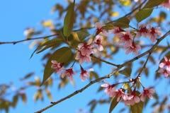 Schöne blühende japanische Kirsche - Kirschblüte Hintergrund mit Florida Lizenzfreie Stockbilder