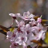 Schöne blühende japanische Kirsche Kirschblüte Jahreszeithintergrund Natürlicher unscharfer Hintergrund im Freien mit blühendem B Lizenzfreies Stockbild