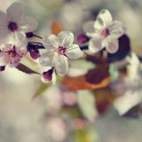 Schöne blühende japanische Kirsche Kirschblüte Jahreszeithintergrund Natürlicher unscharfer Hintergrund im Freien mit blühendem B Stockfoto