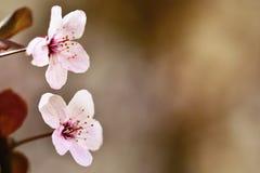 Schöne blühende japanische Kirsche Kirschblüte Jahreszeithintergrund Natürlicher unscharfer Hintergrund im Freien mit blühendem B Stockbild