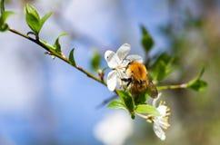 Schöne blühende Kirschbäume und Hummel bestäuben Stockbild