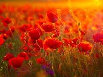 Schöne blühende Mohnblumen im Sommersonnenuntergang beleuchten Stockfotografie