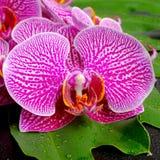 Schöne blühende Niederlassung der abgestreiften violetten Orchidee Lizenzfreies Stockbild