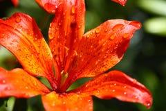 Schöne blühende orange Blume Lizenzfreies Stockfoto