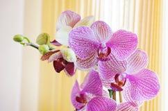 Schöne blühende Orchidee Lizenzfreies Stockfoto