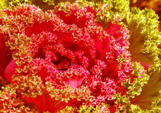 Schöne blühende Pflanze im Blumenbeet im dekorativen Garten Stockbilder