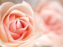 Schöne blühende Rosen Lizenzfreie Stockfotos