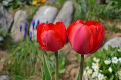 Schöne blühende rote Tulpen im Garten im Frühjahr Stockbild