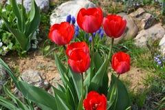Schöne blühende rote Tulpen im Garten im Frühjahr Lizenzfreies Stockfoto