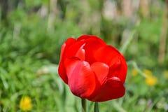 Schöne blühende rote Tulpen im Garten im Frühjahr Stockfoto