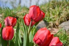 Schöne blühende rote Tulpen im Garten im Frühjahr Lizenzfreie Stockfotos