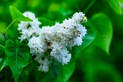 Schöne, blühende weiße lila Blumen lizenzfreie stockfotografie