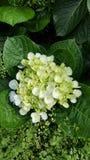 Schöne Blüte der weißen Blume Stockbilder