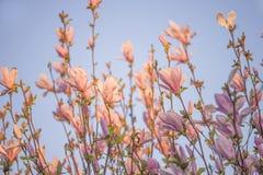 Schöne Blüte von rosa Magnolienzweigen auf Sonnenlicht stockbilder