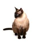 Katze der blauen Augen lizenzfreie stockbilder