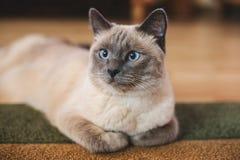 Schöne blauäugige thailändische Katze liegt auf dem Teppich Stockfotografie