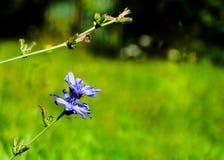 Schöne blau- Kornblume lizenzfreie stockbilder