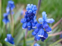 Schöne blaue Blüten Stockfotos