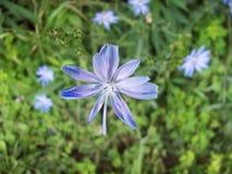 Schöne blaue Blume Stockbilder