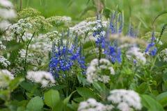 Schöne blaue Blumen in der Wiese Stockfoto