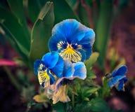 Schöne blaue Blumen des Rittersporns Stockfotografie
