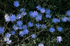 Schöne blaue Blumen, die im Sommer in Europa wachsen Nach einem regnerischen Tag stockfotografie