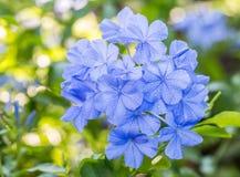 Schöne blaue Blumen, Kap Leadwort, Bleiwurz auriculata Lizenzfreies Stockbild