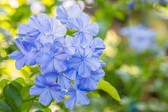 Schöne blaue Blumen, Kap Leadwort, Bleiwurz auriculata Lizenzfreie Stockfotos