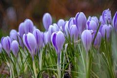 Schöne blaue Blumengruppe r Makro Seitenansicht, auf Bodenhöhe lizenzfreies stockfoto