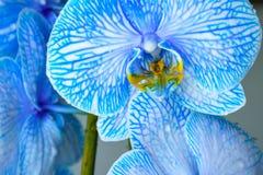 Schöne blaue farbige Orchideenblume mit gelbem Nektar lizenzfreie stockfotos