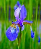 Schöne blaue gelbe Iris Blumen auf einem grünen Feld Frühlingssommerhintergrund Stockfotografie