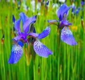 Schöne blaue gelbe Iris Blumen auf einem grünen Feld Frühlingssommerhintergrund Stockbild
