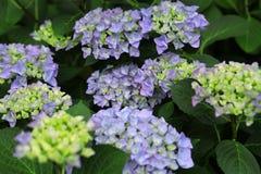 Schöne blaue Hortensien der Sommerblumen lizenzfreie stockbilder