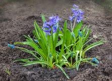 Schöne blaue Hyazinthe mit Muscari Armenian auf einem Blumenbeet Lizenzfreie Stockfotografie