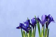 Schöne blaue Iris Lizenzfreies Stockbild