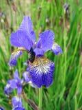 Schöne blaue Iris blüht im Garten, Litauen Lizenzfreie Stockfotografie