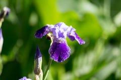 Schöne blaue Irisblume in der Natur Lizenzfreie Stockbilder