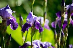 Schöne blaue Irisblume in der Natur Lizenzfreies Stockfoto