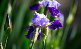 Schöne blaue Irisblume in der Natur Stockbilder