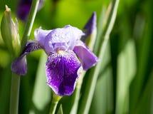 Schöne blaue Irisblume in der Natur Lizenzfreie Stockfotografie