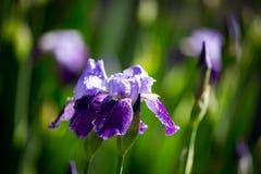 Schöne blaue Irisblume in der Natur Stockfoto