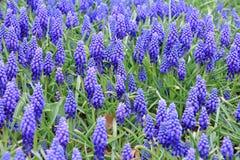 Schöne blaue Muscariblume im Garten Lizenzfreie Stockbilder
