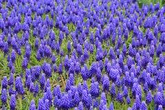 Schöne blaue Muscariblumen im Garten stockfotografie