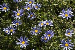 Schöne blaue Osteospermum-Blumen im Garten Lizenzfreies Stockfoto