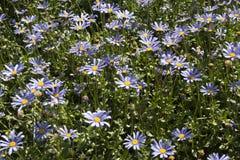 Schöne blaue Osteospermum-Blumen im Garten Lizenzfreie Stockfotografie