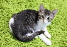 Schöne blaue weibliche Katze, hypoallergenic Katze Tier, das Haustier durch Leute sein kann, die zu den Katzen allergisch ist lizenzfreies stockfoto